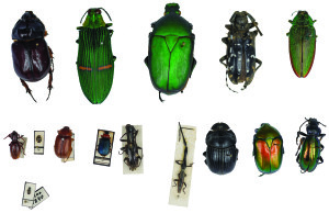 chrząszcze